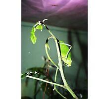 Leaf Bug 1 Photographic Print