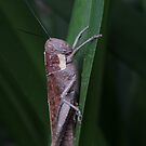 a little wet very large grasshopper by Jeannine de Wet