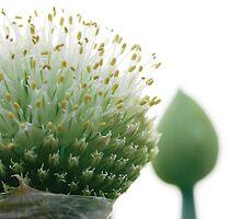 Onion Head by John Donatiu