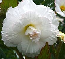 White Begonia by Robyn Williams