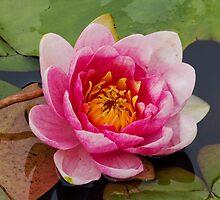 Lotus001 by ArtProphet