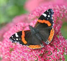 Red Admiral by John Keates