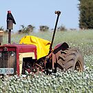 Tasmanian Iconic Poppy Fields by Martin Hampson