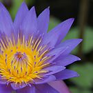 Water Lily by Ross Jardine