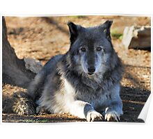 Timber Wolf - Zeus Poster