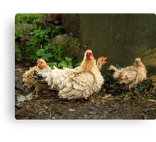 Posing for Chicken Feed Canvas Print