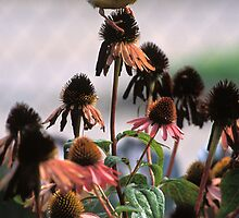 Gold Finch on Echinacea by Bill Spengler