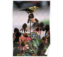 Gold Finch on Echinacea Poster