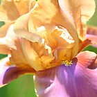 Peach Iris by Linda Curty