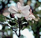 Apple Blossom Time by RC deWinter