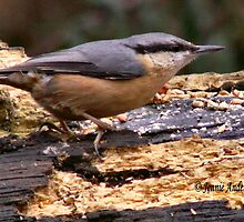 Nuthatch by Jennie Anderson