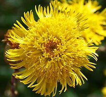 "Australian Native Flower ""Isopogon"" by Evita"