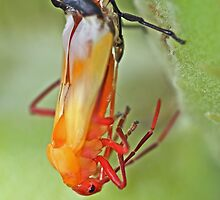 Coming of Age - Large Milkweed Bug - Oncopeltus fasciatus by MotherNature