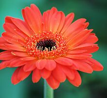 Fruit Punch Daisy by Donna Adamski