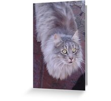 Silver Maine Coon Greeting Card