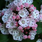 Mountain Laurel  by Karen Kaleta