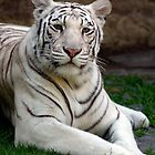 White Tiger by kkgivens