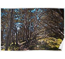 Cypress Grove Trail, Point Lobos, California Poster