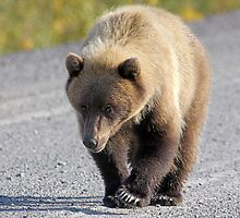 Grizzly Bear - 12524 by BartElder