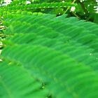 Ruffled Mimosa Leaves by dreamNwish