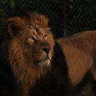 Asiatic Lion by Franco De Luca Calce