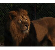 Asiatic Lion Photographic Print