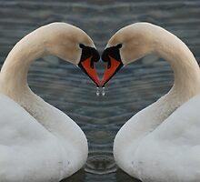Two swans - one heart by Riviera