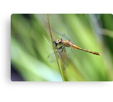 Dragonfly Eating Fly Canvas Print