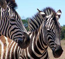 Pair Zebra by Raymond  Ah Sing