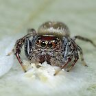 Garden Jumping Spider with Eggs by Andrew Trevor-Jones