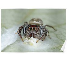 Garden Jumping Spider with Eggs Poster