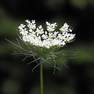 Queen Anne's Lace- Daucus carota by Tracy Wazny
