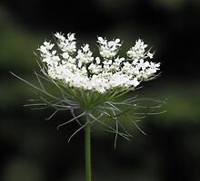 Queen Anne's Lace- Daucus carota by Tracy Faught