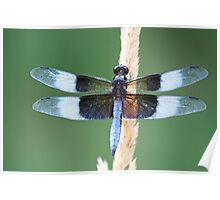 Male Widow Skimmer Poster