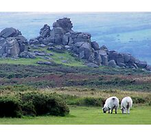 Dartmoor sheep Photographic Print