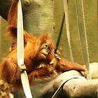 Baby Orangutan by Franco De Luca Calce