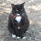 'Butch' with all his white trims!  Manx Cat. by Rita Blom