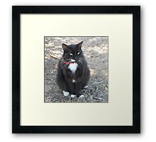 'Butch' with all his white trims!  Manx Cat. Framed Print