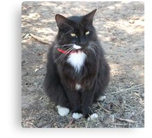 'Butch' with all his white trims!  Manx Cat. Canvas Print
