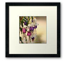 Purple and pink fuschias Framed Print