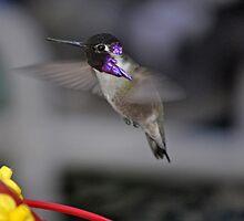 HUMMINGBIRD COSTA IN FLIGHT   by JAYMILO