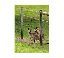 Kangaroos at Pambula Beach Art Print