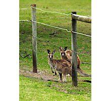 Kangaroos at Pambula Beach Photographic Print