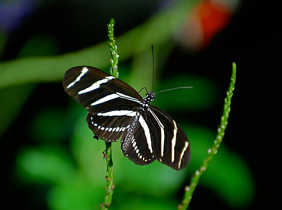 Zebra Longwing by Pamela Hubbard