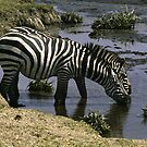 Burchell's Zebra drinking in a river - Tanzania by Bev Pascoe