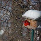 First Cardinal of the Year!! by Vonnie Murfin