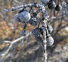 Frosted Berries by Tracy Wazny