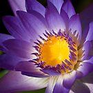 Purple Waterlily by Agro Films