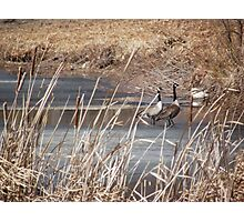 Early Spring Geese on Ice Photographic Print