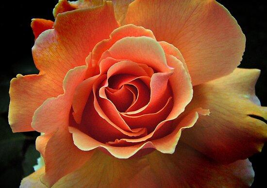 Rose Pêche by Milan Hartney